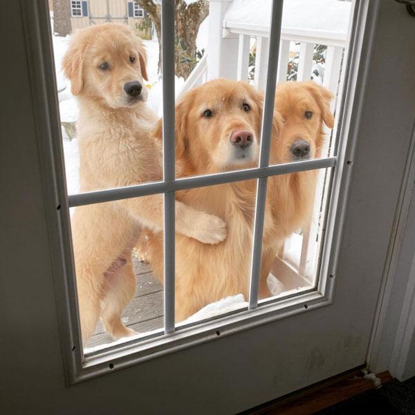 Golden Retrievers - Nicky, Buddy, Teddy